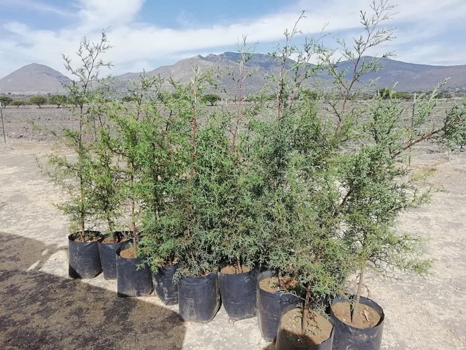 Reforestacion SMA